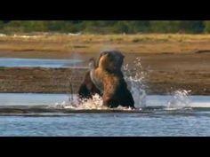 Grizzlies Of Alaska