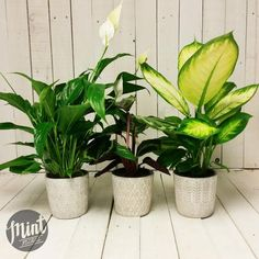 These concrete pots are fresh to our store and look stunning with these mixed…