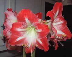 Forcing amaryllis bulbs to grow inside  :-)