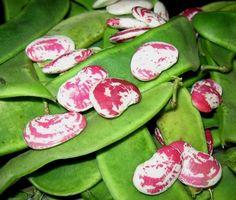 Christmas Lima Bean Seed - Large Calico Speckled Pole Beans Seeds to Growing Lima Beans, Bean Pods, Organic Mulch, Urban Farmer, Plant Diseases, Soil Improvement, Bush Beans, Fall Plants, Garden Trellis