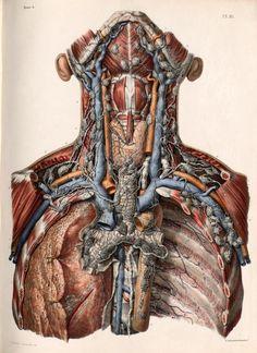 Nicolas Henri Jacob - Illustration for Traité complet de l'anatomie de l'homme comprenant la médecine opératoire (1831-1854) by Jean-Baptiste Marc Bourgery Lymphatic vessels and lymph nodes of the neck and thorax.