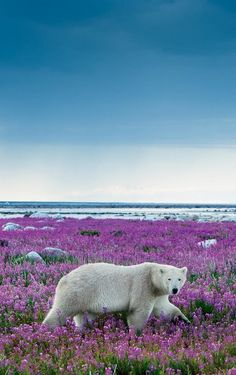 "Polar Bear: ""Handsomely ~ Walking Amongst Beauty."" Hubbart Point, Manitoba, Canada. (Photo By: Michael Poliza.)"