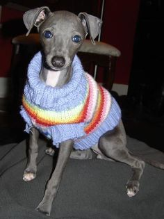 Penne the Italian Greyhound Pictures 3534