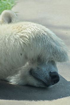 theanimaleffect: Polar Bear by Truus & Zoo on Flickr.