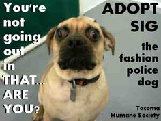 Sig is an adoptable puggle in Tacoma, WA. To learn more about Sig, go to http://www.petfinder.com/petdetail/23580740