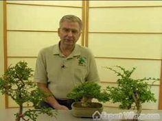 How to Grow Bonsai Trees : Avoiding Common Problems with Bonsai Trees