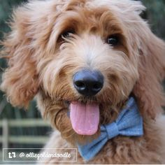 Ollie is so happy to be wearing his bow tie! #hessofluffy #thriftypup #bowtie #dogbowtie #dogsinbowties #bowtiesarecool #bowtiesforpets #dogaccessories #dogfashion #upcycled #handmade #shopsmall #supportsmallbusiness #fancydogs #dapperdog #stylishdog #dog #dogstagram #dogsofinstagram #doglovers #puppy #puppylove #puppiesofinstagram #goldendoodle #goldendoodles #goldendoodlesofinstagram by thriftypup