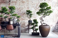 Ficus Ginseng - plant of the month July Ficus Ginseng Bonsai, Ficus Microcarpa Ginseng, Ginseng Plant, Outdoor Plants, Potted Plants, Cactus Plants, Interior Plants, Ikebana, Native Plants