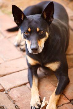 Kelpie australiano - El Kelpie Australiano es un perro de pastoreo originario de Australia. Pesa entre 12 y 22 kilos y llega a medir entre 43 y 50 cm a la cruz. Su color de pelo puede ser negro, rojo, azul o leonado