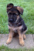 Housebreaking a Puppy - 12 Tips for German Shepherd Puppy Potty Training