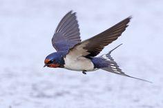 Barn Swallow by Jamie-MacArthur.deviantart.com on @deviantART