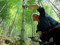 虎竹の伐採方法(竹の切り方) 竹林 tigerbamboo 竹虎四代目 虎斑竹専門店 竹虎