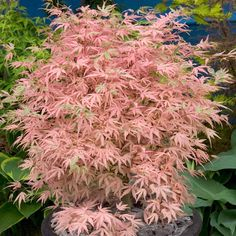 Acer palmatum Taylor - Tall Shrubs & Trees (2.5m+) - Shrubs By Size - Shrubs - J. Parker's