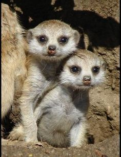 Meerkats to paint`