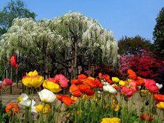 How I`d Love to Visit the Ashikaga Flower Park!
