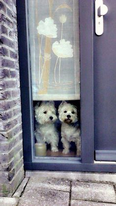 Westies waiting for dad