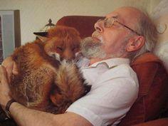 Räv och två hundar i slagsmål. Räven svårt skadad. Mannen skötte om räven Räven bor numera med mannen. En så kallad inneräv.Fantastiskt.