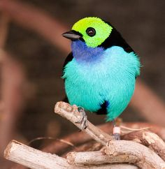 the Paradise Tanager (tangara chilensis) by Nathan Rupert. One of the most colorful birds I have ever seen. Kinds Of Birds, All Birds, Little Birds, Love Birds, Exotic Birds, Colorful Birds, Exotic Animals, Tropical Birds, Beautiful Creatures