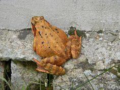 Koło domu: Bliskie spotkanie z... żabą trawną