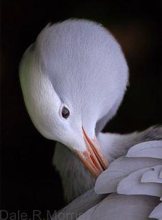 Blue Crane, Elgin, Western Cape List Of Birds, Crane Bird, Flightless Bird, Bird Food, Big Bird, Birds Of Prey, Canes, Beautiful Birds, Dolphins