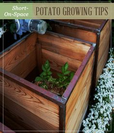 Short on space to grow potatoes? Here's an efficient alternative to growing potatoes.
