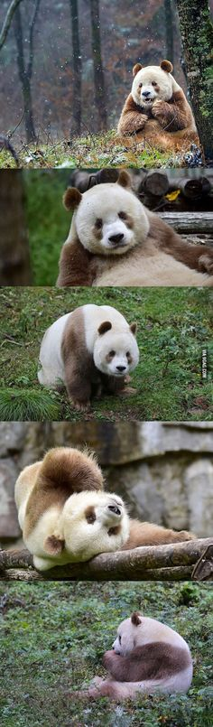 Meet the world's only brown panda who was abandoned as a baby Brown Panda, Animals And Pets, Cute Animals, Pandas Playing, Panda Bear, Best Funny Pictures, Abandoned, Meet, Manga