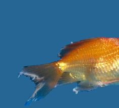 Fin rot is particularly common among tropical fish, especially those who are kept in freshwater aquariums. Fortunately, this health condition is easy to spot because its physical manifestations are very specific. Freshwater Aquarium, Aquarium Fish, Methylene Blue, Fish Fin, Bacterial Diseases, Tropical Fish, Goldfish, Home Remedies, Fresh Water