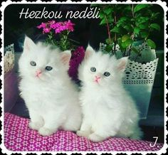 Cute Baby Cats, Cute Kittens, Cats And Kittens, Kitty Cats, Ragdoll Kittens, Bengal Cats, Beautiful Cats, Animals Beautiful, Cutest Animals