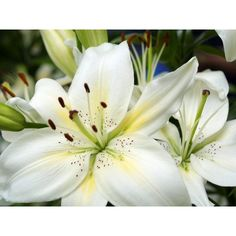 White lilies wallpaper | Wallpapers 70 ❤ liked on Polyvore featuring backgrounds, flowers, pictures, photo and fillers