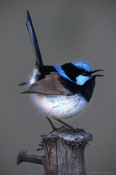 Beautiful painted malur (Malurus cyaneus) The Effective Pictures We Offer You About Exotic pets drag Cute Birds, Pretty Birds, Small Birds, Little Birds, Colorful Birds, Most Beautiful Birds, Animals Beautiful, Cute Animals, Exotic Birds