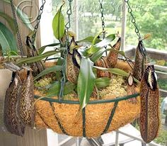 nepenthes hamata care and growing