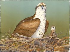 Outlook (Osprey and Chick) by Barbara Groenteman Watercolor ~  x