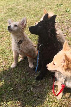 Mudi puppy