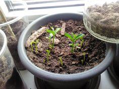 My Orange Trees - 3 weeks