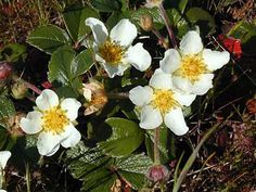 Native strawberry from the dunes would be a nice ground cover