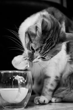 Milky way - cute cat drinking milk with paw........