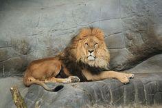Lev, Zvíře, King, Volně Žijící, Hagenbek, Velká Kočka