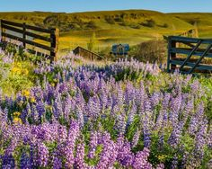 Lupine wildflower meadow. Fine Art Landscape Photography Print for Home Decor Wall Art. Purple Lupines blooming in a meadow at the Columbia Hills Natural Area in the Columbia River Gorge ~~ SELECT DESIRED SIZE USING THE OPTIONS BUTTON ABOVE ADD TO CART. Available in: 5x7, 8x10, 11x14, 12x18, 16x24, 20x30, 24x36 prints.
