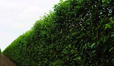 Buy Prunus Lusitanica: A Fast Growing, Drought Tolerant, Deer Resistant Hedge at Best Price. Portuguese Cherry Laurel is a great evergreen privacy hedge. Privacy Hedges Fast Growing, Fast Growing Shrubs, Fast Growing Evergreens, Evergreen Trees For Privacy, Evergreen Hedge, Green Giant Arborvitae, Emerald Green Arborvitae, Hedging Plants, Privacy Plants