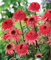 Raspberry Truffle PPAF Echinacea Seeds and Plants, Perennial Flower Garden at Bu… Flowers Perennials, Planting Flowers, Cactus Plante, My Secret Garden, Dream Garden, Garden Plants, Xeriscape Plants, Beautiful Gardens, Truffles