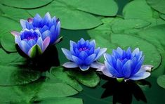 The blue lotus is the symbol of the victory of the spirit over the senses, of intelligence and wisdom, of knowledge... the embodiment of the 'perfection of wisdom'.