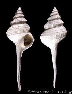 Coluzea mariae  (Powell, A.W.B., 1952) Maria's Pagoda Shell Shell size 75 mm   New Zealand