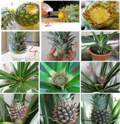 Pineapple is one of the world's most unique and exotic tropical fruits. It is a great source of fiber and high in vitamins B1 & C. Ripe pineapple is sweet, juicy. Do you know how to regrow pineapple? You will be surprised that growing pineapple plants is a lot easier …