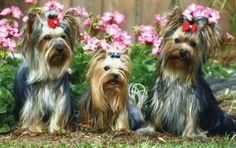 Cachorro – Diversos tipos de amigos de estimação O cão Yorkshire: este é um tipo de cão que tem dupla personalidade. Ao mesmo tempo em que ele estar dócil e apegado aos donos, também pode virar a cara e dar uma de independente, às vezes querendo muito ficar sozinho, na dele.
