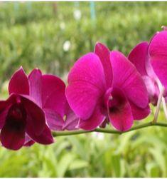 Dendrobium Orchids Dendrobium Orchids, Plants, Red, Flora, Plant