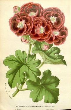 Pelargonium ( Prince of Novelties) taken from 'Flore des serres et des jardins de l'Europe'. Louis van Houtte (1810–1876)