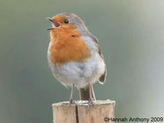 Love robins