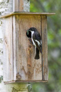 http://www.birdlife.fi/tiedotteet/kuvat/kirjosieppo-ari-ahlfors.jpg