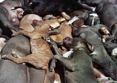Rise and fall of the American Pit Bull Terrier