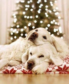 10 great holiday gift ideas that will help your pet thrive throughout the season and beyond. Cute Puppies, Cute Dogs, Dogs And Puppies, Doggies, Corgi Puppies, Christmas Puppy, Christmas Animals, Merry Christmas, Christmas Presents
